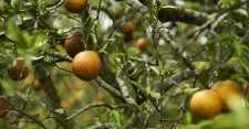 >Spraying Antibiotics to Fight Citrus Scourge Doesn't Help, Study Finds