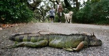 >Night of the Falling Iguanas: An Odd Forecast for South Florida